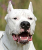 Dogo Argentino dog breed face