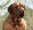 Dogue de Bordeaux dog breed