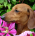 Dachshund dog breed face
