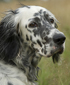 English Setter dog breed face
