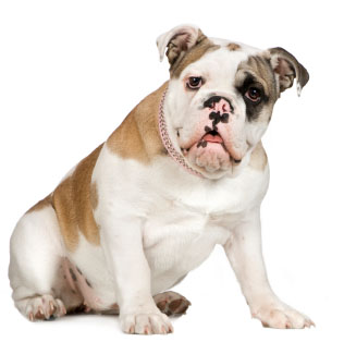 English Bulldog dog breed photo