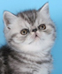 exotic shorthair cat breed face