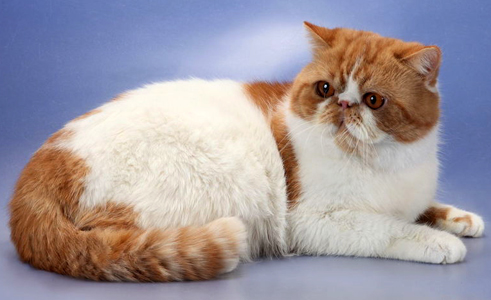 exotic shorthair cat breeds photo