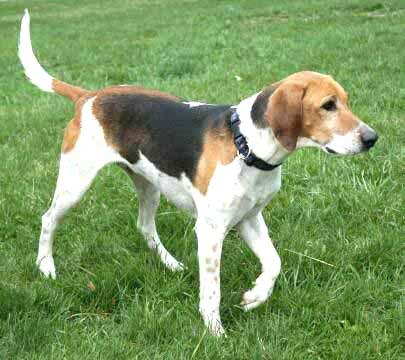 English Foxhound dog breeds