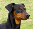 German Pinscher dog breed face