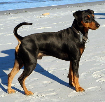 German Pinscher dog breeds photo