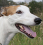 Greyhound dog breed face
