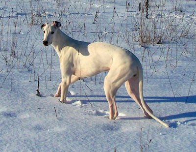 Greyhound dog breeds
