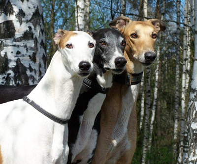 Greyhound dog breeds photo