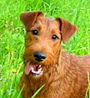 Irish Terrier dog breed face