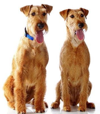 Irish Terrier dog breeds photo