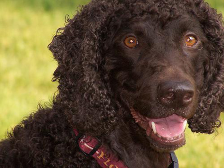 Irish Water Spaniel general features, temperament, health