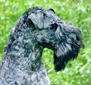 The Kerry Blue Terrier dog breed face