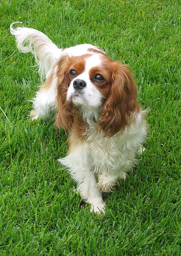 King Charles Spaniel dog breeds photo