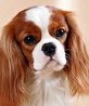 King Charles Spaniel dog breed face