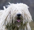 komondor_face