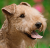 Lakeland Terrier dog breed face