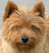 Norwich Terrier dog breed photo