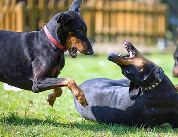 Intraspecific aggression in dogs