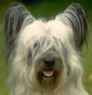 Skye Terrier dog breed face