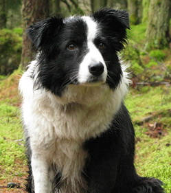 smartest and intelligent dog breed border collie