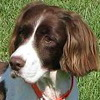 English Springer Spaniel dog breed photo