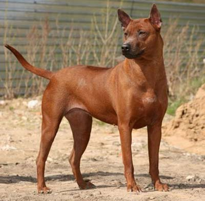 Thai Ridgeback Dog general features, temperament, health