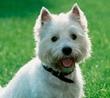 West Highland White Terrier dog breed face