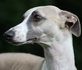 whippet dog breed face