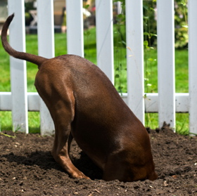 dog is digging holes at Your yard